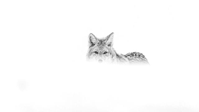 The Coyote Ghost