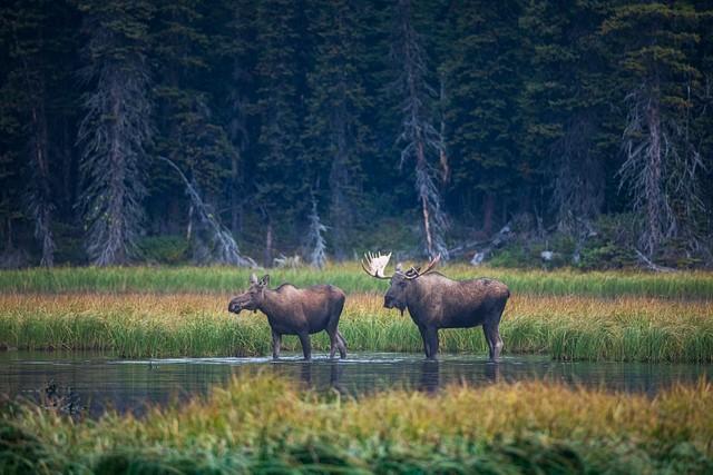 Moose Love