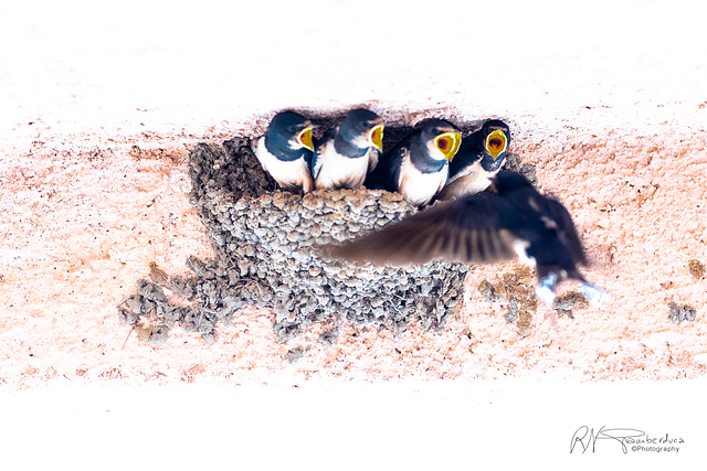 High Key Swallows