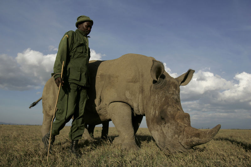 Ranger Patrick Muriithi walk next to Max the orphan white rhino in the Ol Pejeta Conservancy near Mt. Kenya,Friday, Sept. 30, 2008.On June 30, 2011, shots were heard on the Ol Pejeta Conservancy. A few hours later, Max, one of our southern white rhinos, was found dead. He had 17 bullets in him and both his horns had been removed by poachers.