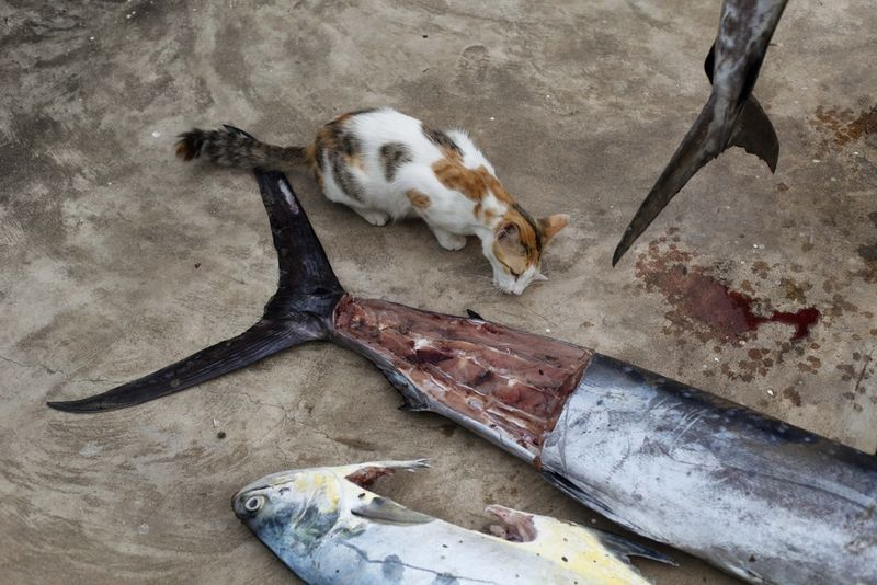 In this Tuesday, Nov. 24, 2009 picture a cat eat small portions of a sailfish caught by South African sports fisherman Quintin Maine in Malindi.Fishermen who fish for a living and sportsmen who catch fish for fun say they've seen a rise in fish stocks in northern Kenya and suspect the rise is due to Somali pirates who have forced commercial trawlers off the Somali coast.