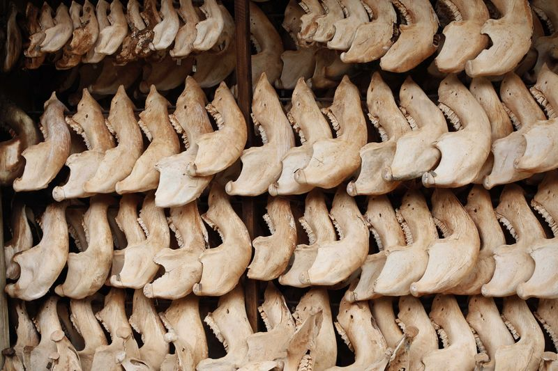 Hundreds of lower jaw bones of elephants that have died naturally or have been killed since the 1970's are on display in the Tsavo East national park, Tuesday, March 9, 2010 in Kenya.