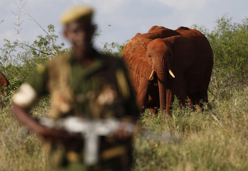 Kenya Wildlife Ranger Mohamed Kamanya walk past a herd of elephants in the Tsavo East national park, Tuesday, March 9, 2010 in Kenya.