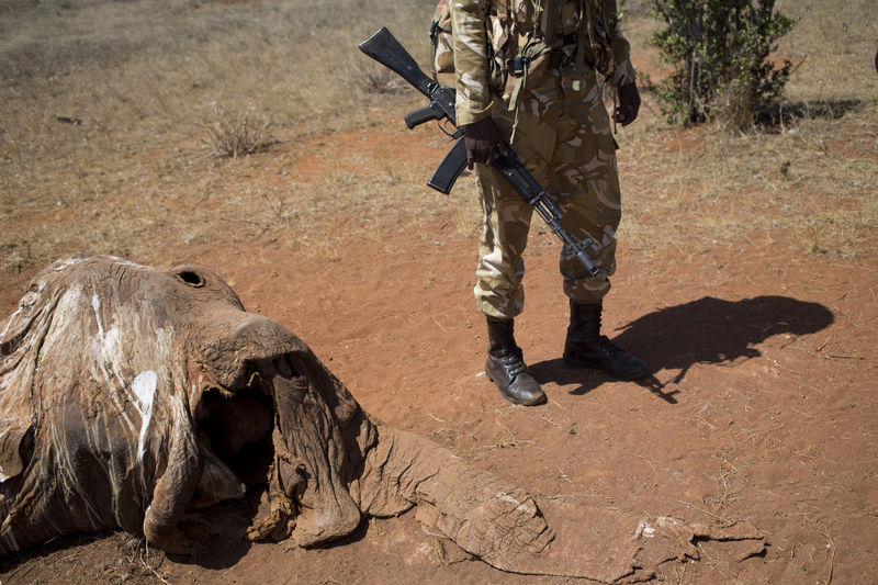 Kenya Wildlife Rangers from the anti poaching unit look at an elephant that was killed by poachers with a poison arrow three weeks ago in the Tsavo East game park in Kenya 6 June 2013. PHOTO/KAREL PRINSLOO