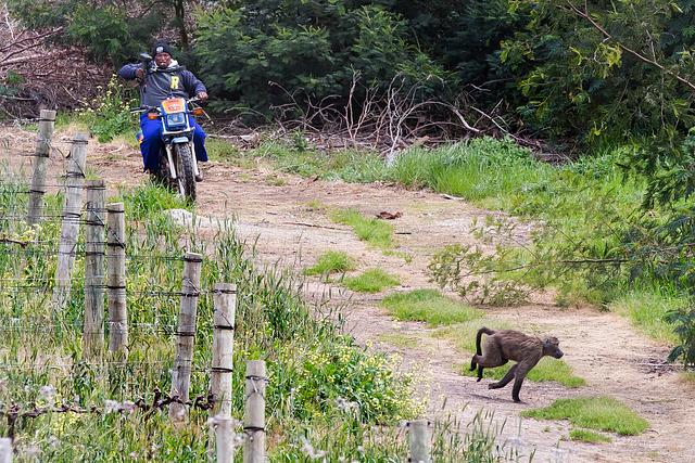 South Africa Winelands Baboons