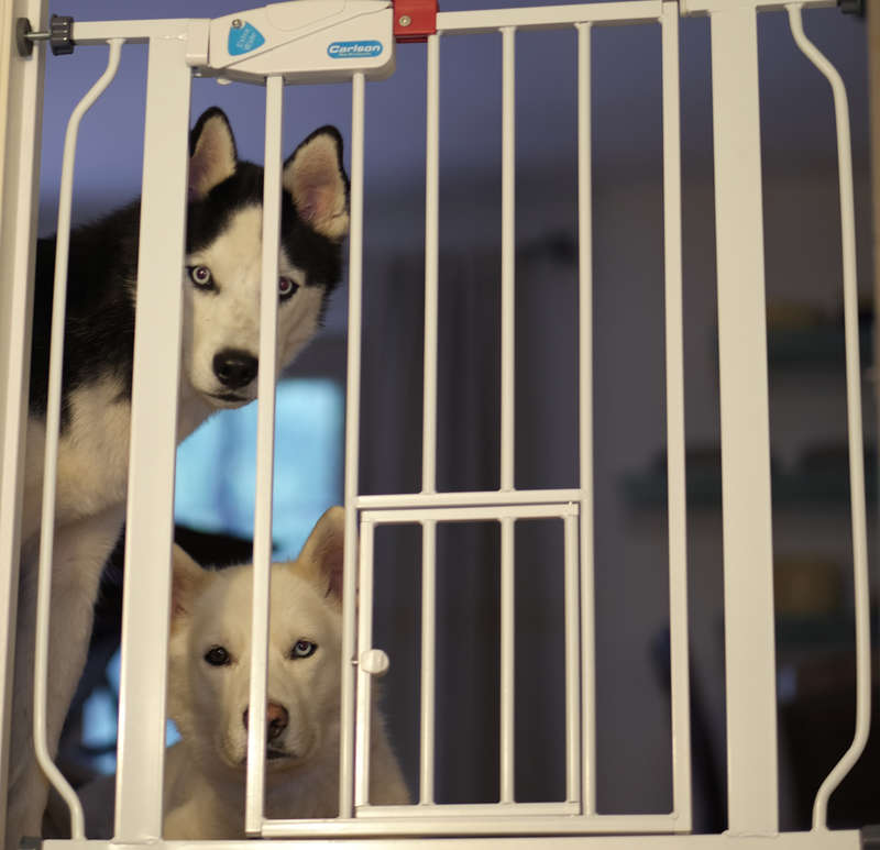Huskies At the Gate