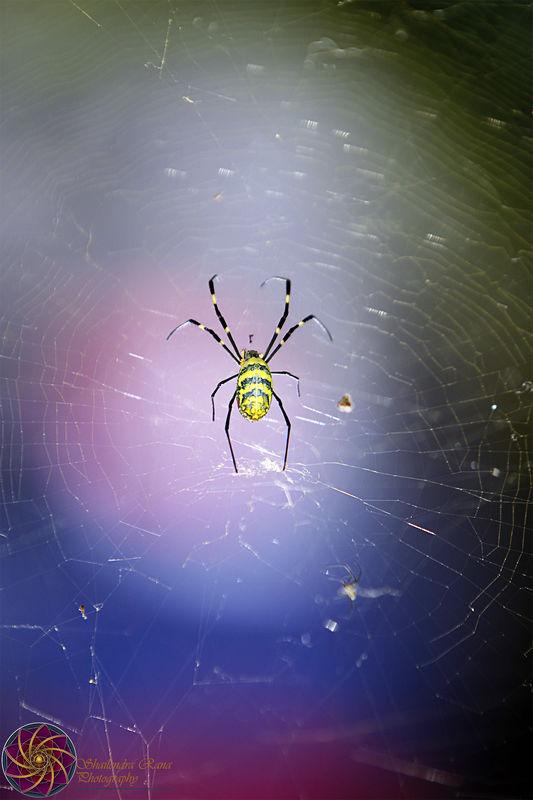Psy Spider