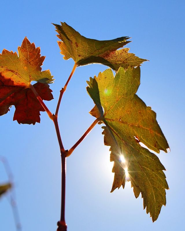 Grape Leaves - Amador County