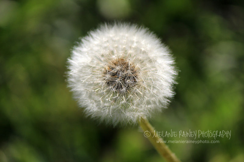 Some see a weed...some see a wish.