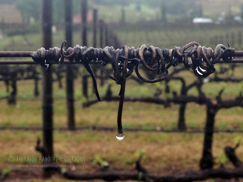 Rainy Vineyard - Amador County