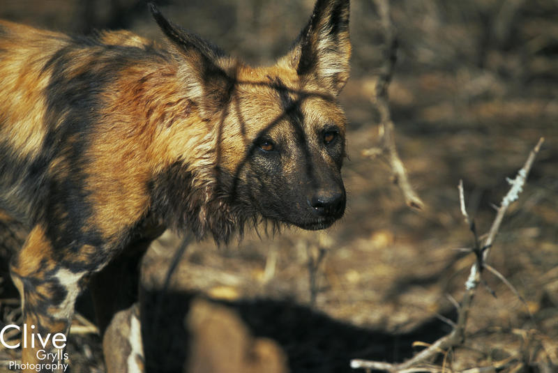 IMAGE LIBRARY AFRICA : AFRICAN HUNTING DOGS