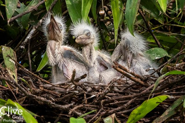 I L NEPAL : BIRDS