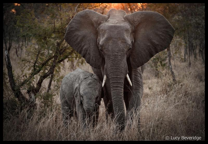 Datos curiosos sobre elefantes  |  Curious facts about elephants