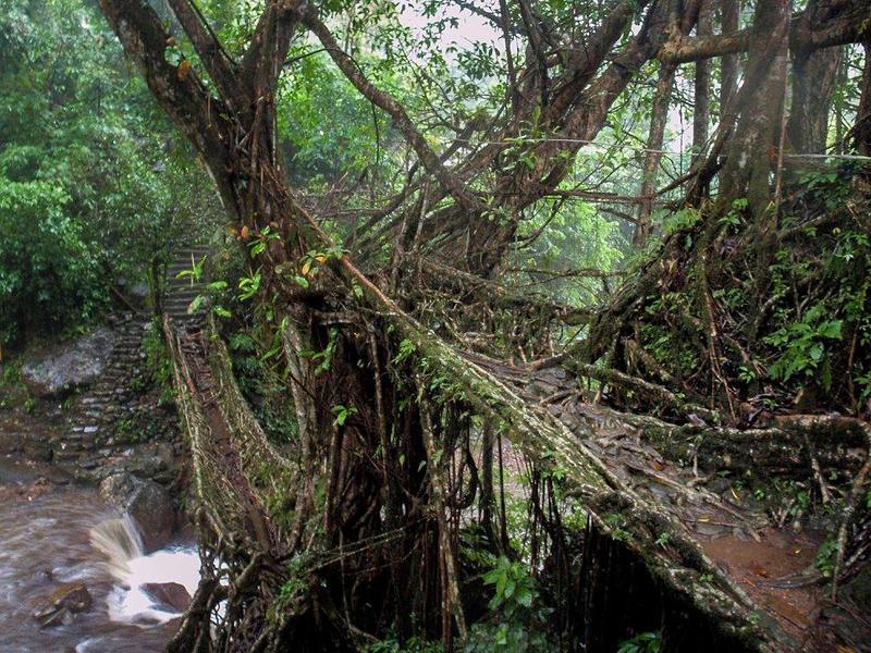 Living Bridges of Meghalaya
