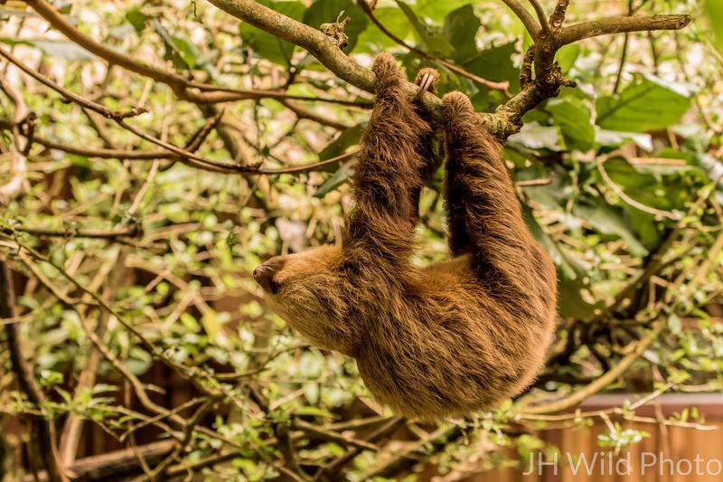 Juvenile 2 toed sloth