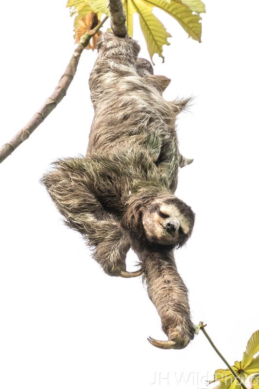 Ah, that's the spot! 3 toed sloth scratching