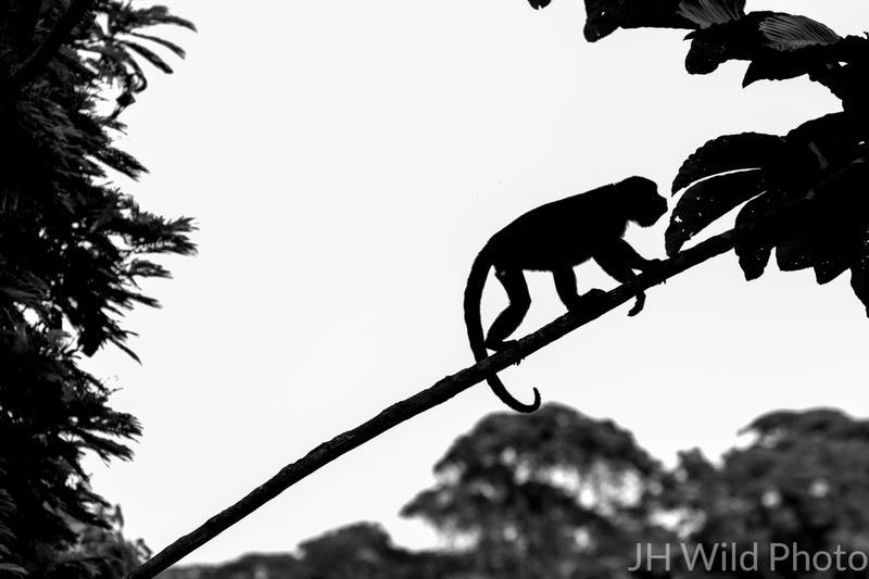 Howler Monkey silhouette