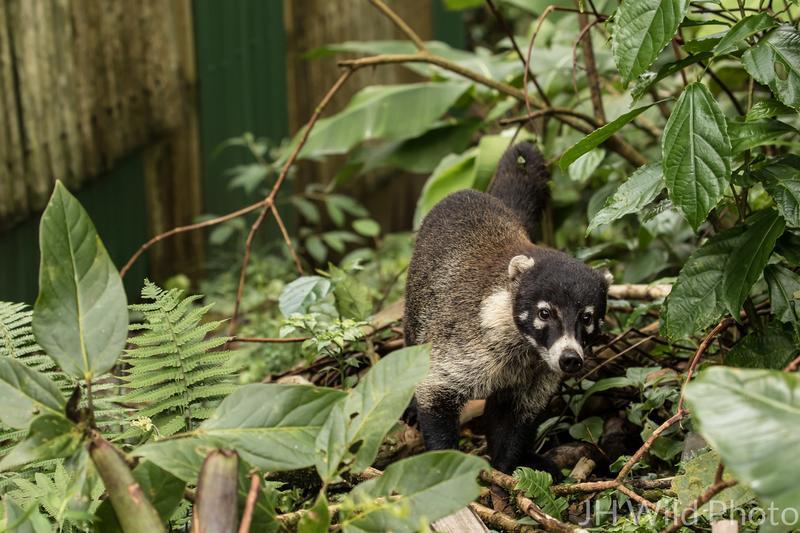 Coati - The Costa Rican raccoon