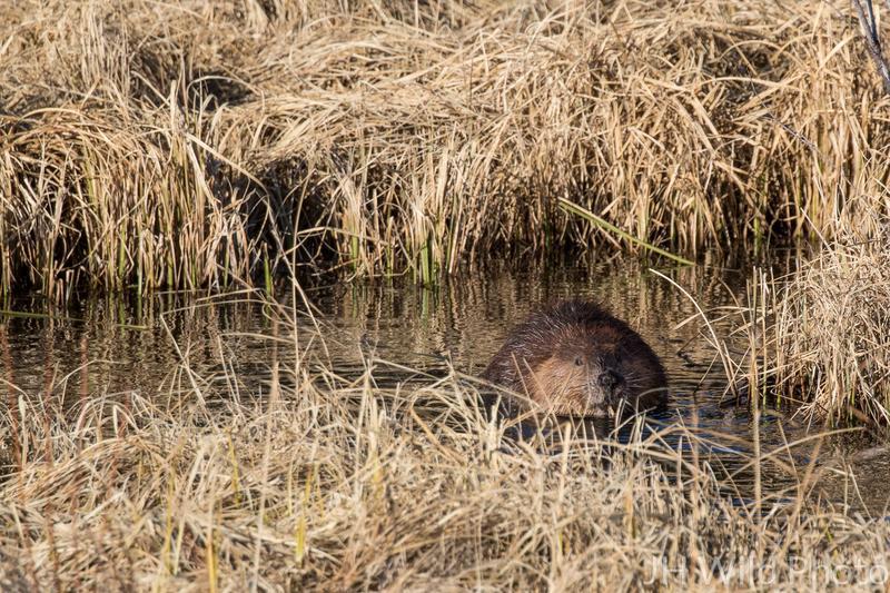 Beaver near Haines Junction, Yukon