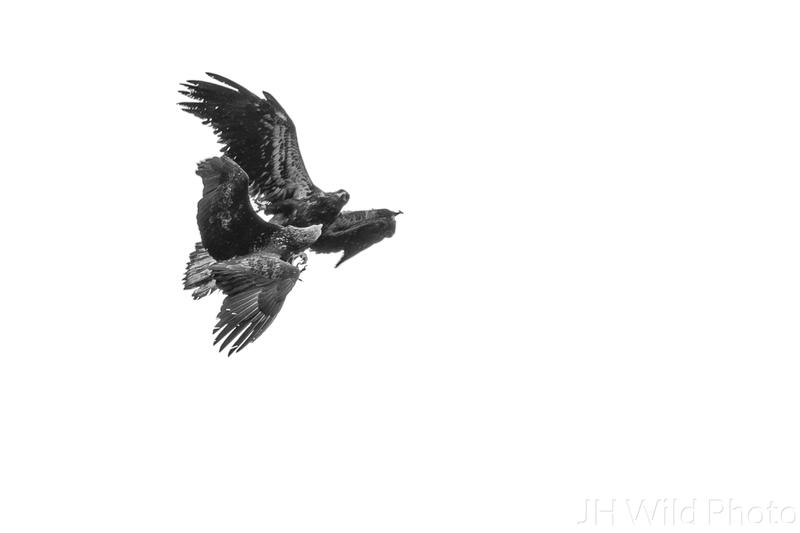 Juvenile Eagles fight overhead