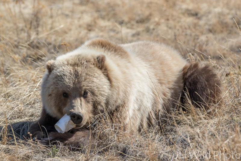 Grizzly Bear with disposable coffee cup