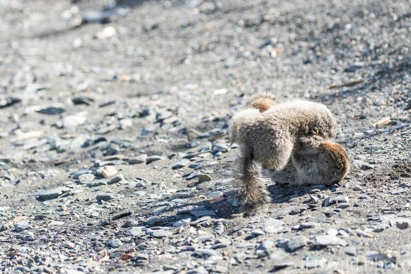 Prairie Dog tumbling during fight