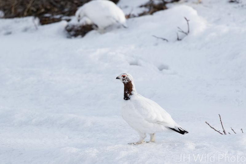Ptarmigan in winter plumage
