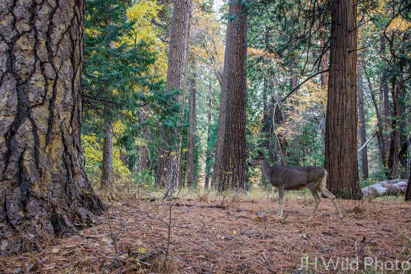 Mule Deer, Yosemite National Park