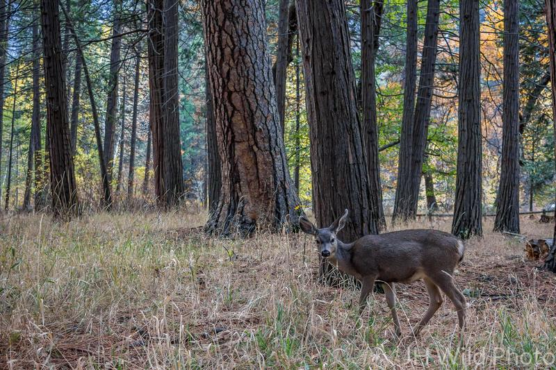 Mule Deer, Yosemite National Park Valley