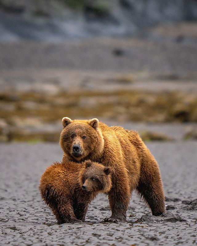 Photograph Brown Bears in Lake Clark National Park