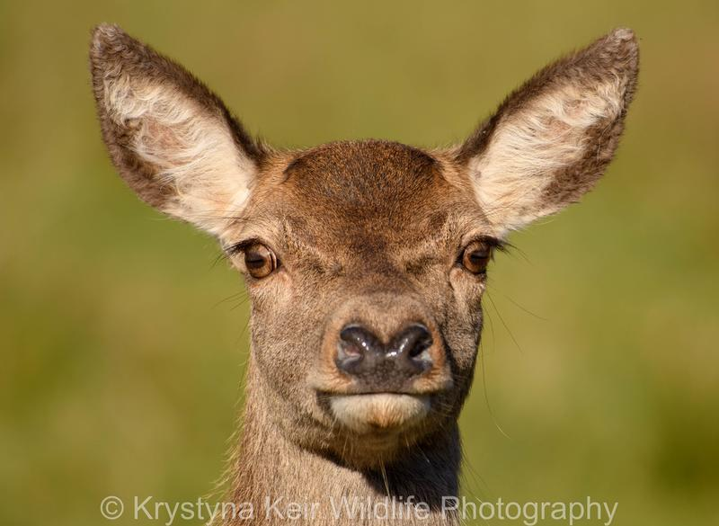 Portrait of a Hind