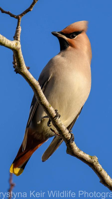 Waxwing Lyrical