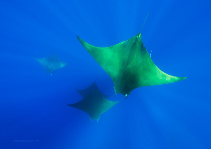 Mobula Rays, the Azores