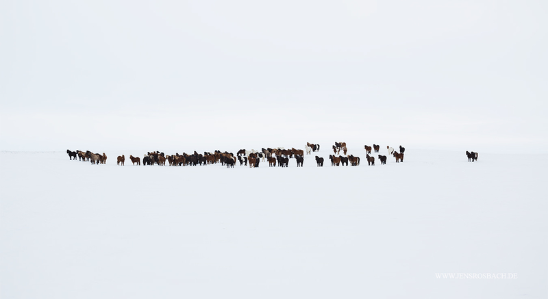 Herd in the snow, Iceland