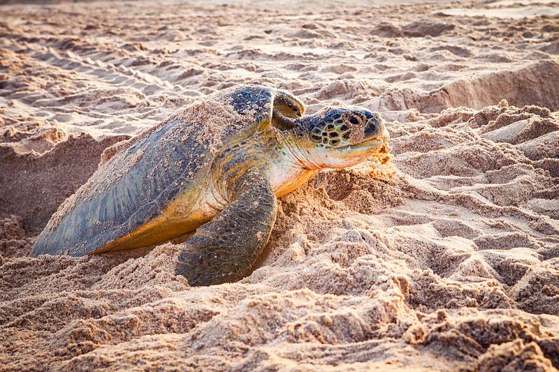 Sea turtle sanctuary at Ras al-Hadd.