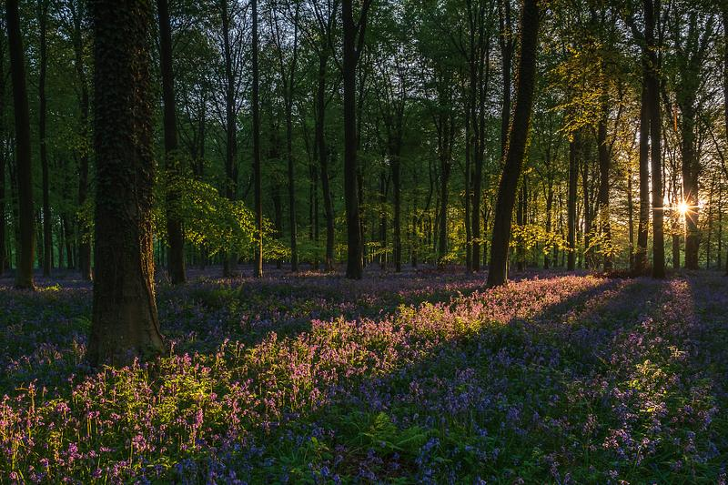 Dawn in the Bluebell woods
