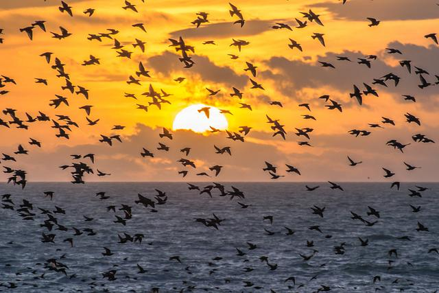 Starling sunset fly by