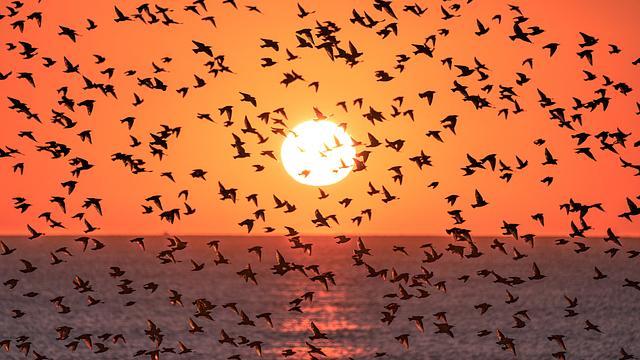 Starlings at sunset
