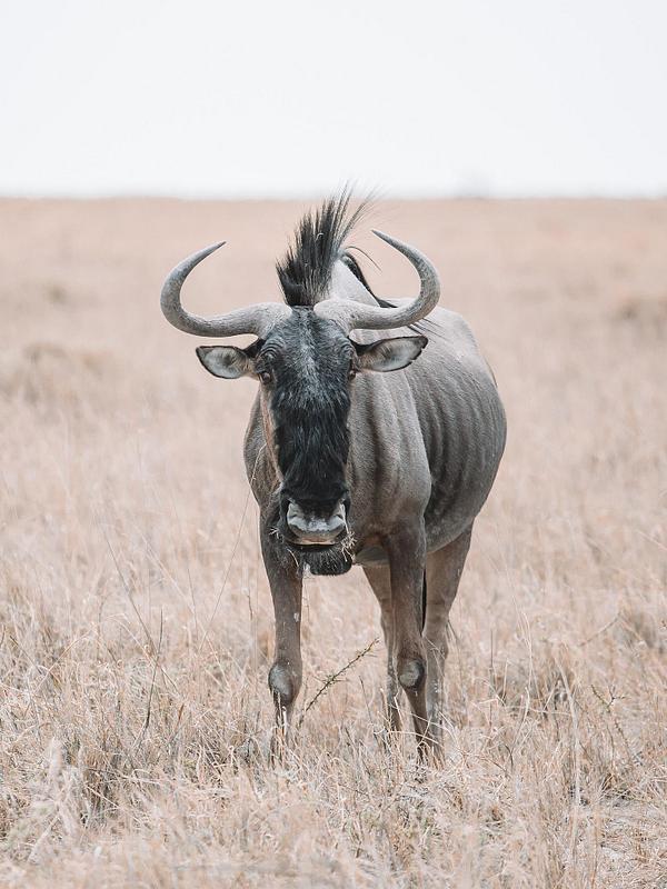 African Wildebeest