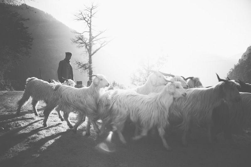 Shepherd in Kinnaur, Himalayas