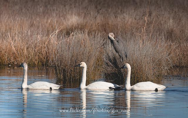 Swans & Great Blue Heron