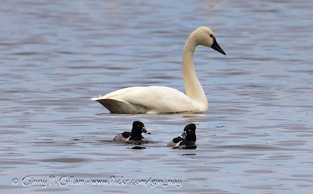 Tundra Swan & Ringneck Ducks