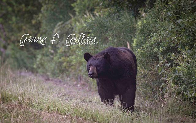Eastern NC Black Bear