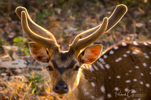 Deers of Kabini