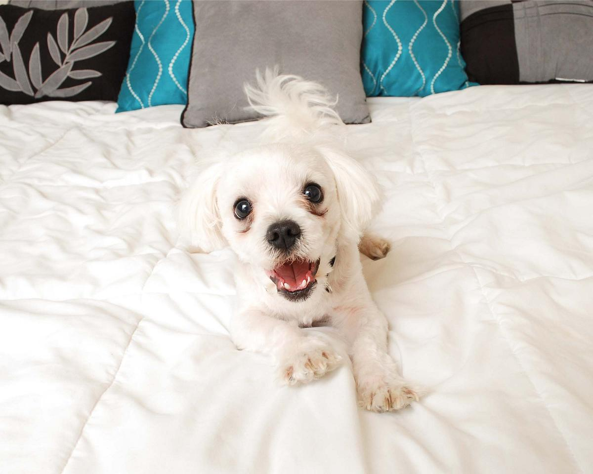 Toby the Maltese shows off his big personality for the camera!