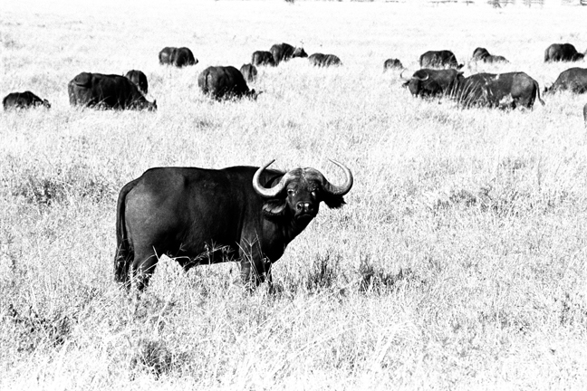 Buffalo, Serengeti 2016   Edition 1 of 2