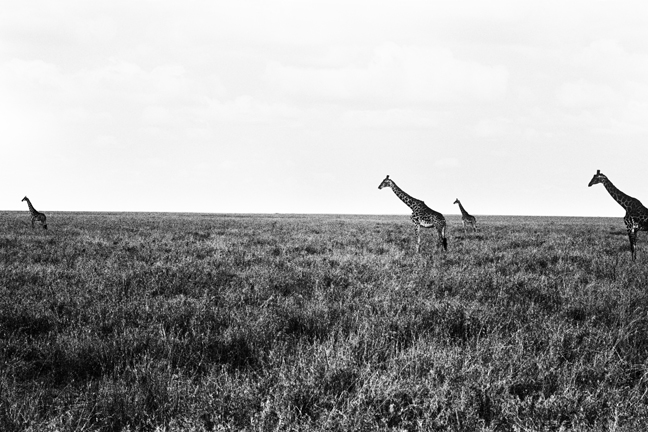 Giraffe - 4, Serengeti 2016   Edition 1 of 2