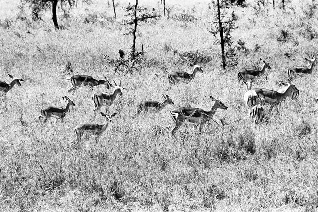 Gazelle-2, Serengeti 2016   Edition 2 of 2