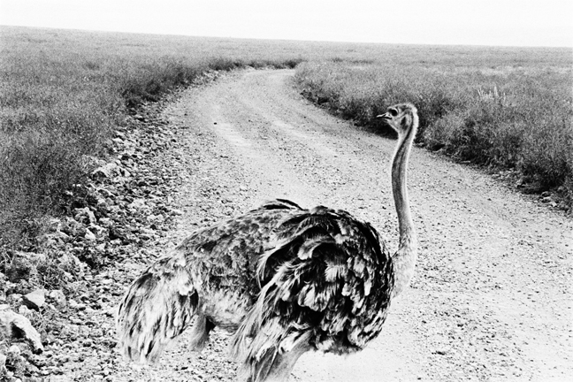 Ostrich, Ngorongoro 2016   Edition 1 of 2