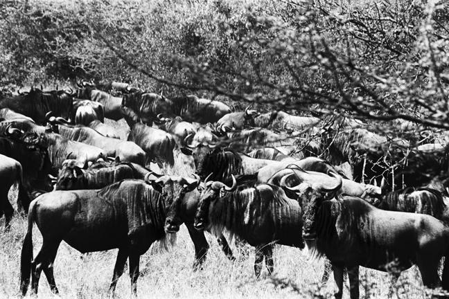 Wildebeest, Serengeti 2016   Edition 1 of 2